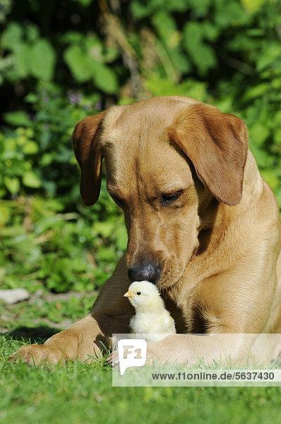 Labrador Retriever  Farbton Gelb  Hündin  mit Hühnerküken Labrador Retriever, Farbton Gelb, Hündin, mit Hühnerküken
