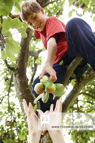 Baum  Frucht  aufheben