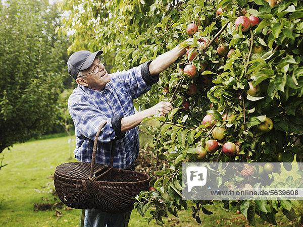 Älterer Mann pflückt Früchte vom Baum