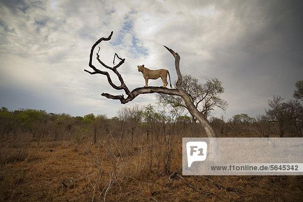 Eine Löwin auf nacktem Ast stehend