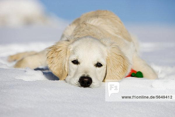 Golden Retriever  Junghund liegt im Schnee  Nordtirol  Österreich  Europa