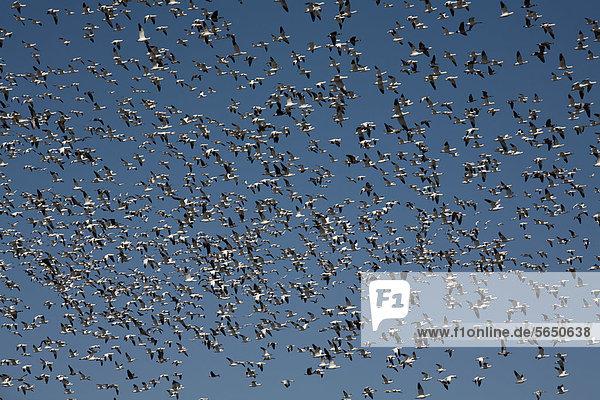 Schneegänse (Chen caerulescens)  riesige Schar im Flug  Platte River Valley  Hershey  Nebraska  USA