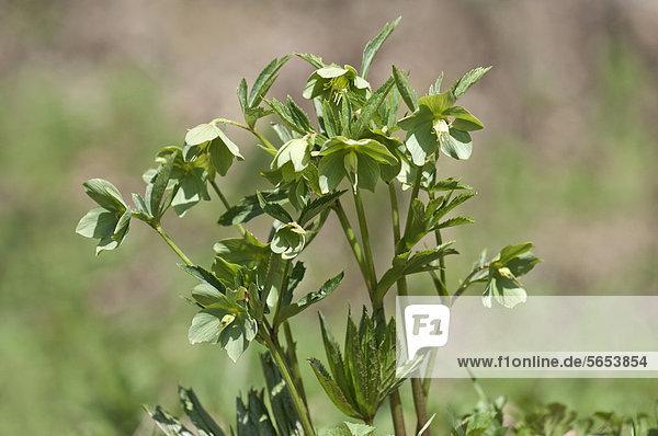 Grüne Nieswurz (Helleborus viridis)  selten  Niederalfingen  Baden-Württemberg  Deutschland  Europa