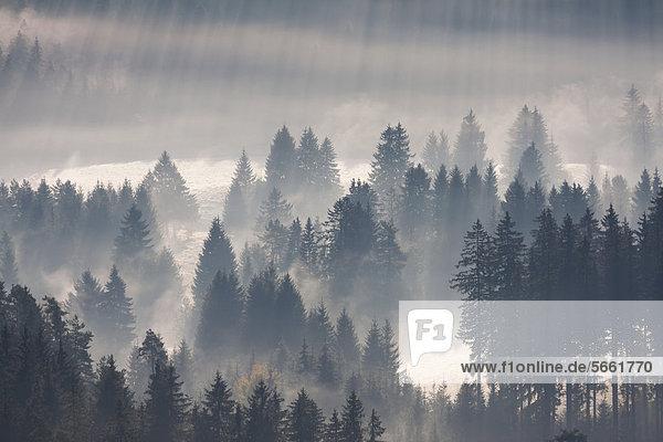 Wald im Morgennebel  Schwarzwald  Breisgau-Hochschwarzwald  Baden-Württemberg  Deutschland  Europa Wald im Morgennebel, Schwarzwald, Breisgau-Hochschwarzwald, Baden-Württemberg, Deutschland, Europa
