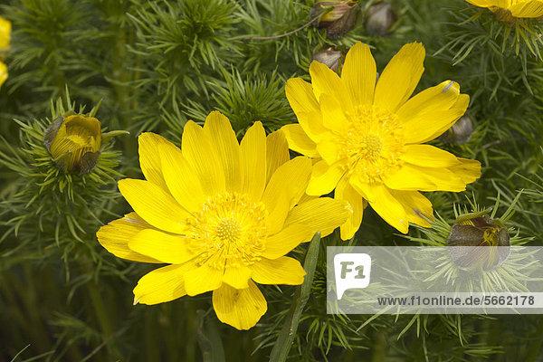 Botanischer Garten Botanische Europa gelb unaufrichtig Bochum Deutschland Nieswurz Nordrhein-Westfalen