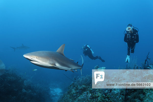 Divers watching Caribbean reef sharks (Carcharhinus perezi)  swimming above a coral reef  Republic of Cuba  the Caribbean  Central America