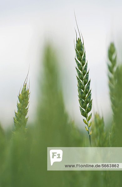 Nahaufnahme der Ähre der Weizenpflanze im Feld
