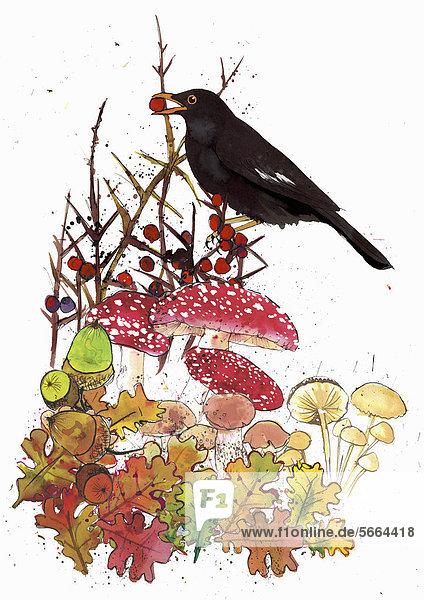 Amsel mit roten Beeren  Eicheln und Pilzen im Herbst
