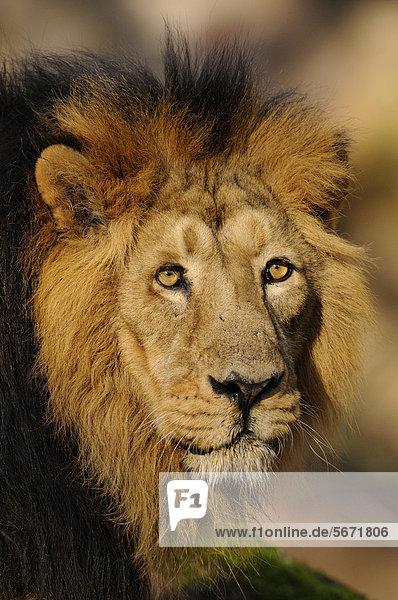 Männlicher Löwe  Portrait