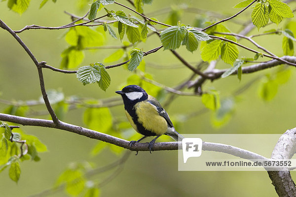 Kohlmeise im Frühjahr  Männchen (Parus major)  Bayern  Deutschland  Europa Kohlmeise im Frühjahr, Männchen (Parus major), Bayern, Deutschland, Europa