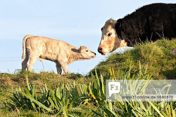 Kuh und neugeborenes Kalb Kuh und neugeborenes Kalb