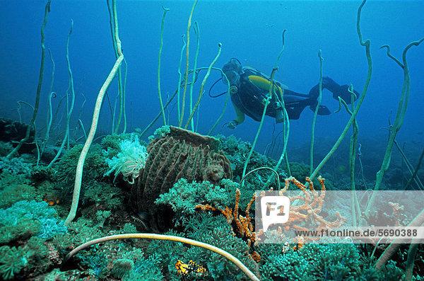 Tropische Unterwasserlandschaft  Korallenriff mit Taucher  großer Schwamm  und helle Seepeitschen (Junceella fragilis)  Sabang  Puerto Galera  Mindoro  Philippines  Asien  Pazifik