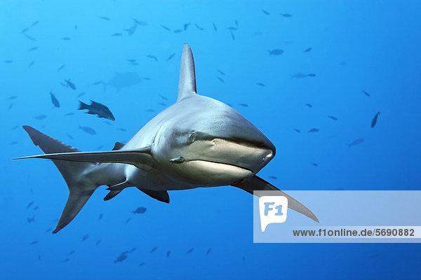 Galapagos-Hai (Carcharhinus galapagensis)  Roca Partida  Revillagigedo-Inseln  Mexiko  Amerika  Ost-Pazifik
