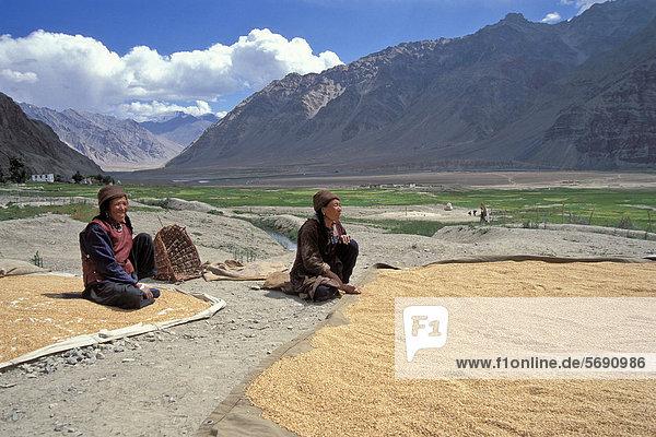 Zanskari-Frauen  Ernte  Korn  Gerste  bei Zangla  Zanskar  Ladakh  Jammu und Kaschmir  Nordindien  Indien  indischer Himalaya  Asien