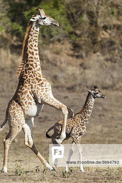 Massai-Giraffe (Giraffa camelopardalis tippelskirchi) treibt Junges an  Arusha Nationalpark  Tansania  Ostafrika  Afrika Massai-Giraffe (Giraffa camelopardalis tippelskirchi) treibt Junges an, Arusha Nationalpark, Tansania, Ostafrika, Afrika