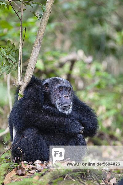 Schimpanse (Pan troglodytes)  Männchen  Mahale Mountains Nationalpark  Tansania  Ostafrika  Afrika Schimpanse (Pan troglodytes), Männchen, Mahale Mountains Nationalpark, Tansania, Ostafrika, Afrika
