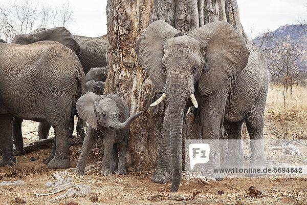 Afrikanische Elefanten (Loxodonta africana)  Ruaha Nationalpark  Tansania  Ostafrika  Afrika Afrikanische Elefanten (Loxodonta africana), Ruaha Nationalpark, Tansania, Ostafrika, Afrika