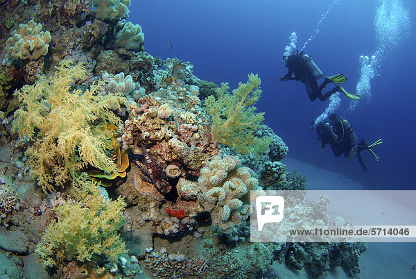 Diver at coral reef  Red Sea  Egypt  Africa