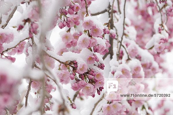 Deutschland  München  Schneebedeckte Kirschblüte  Nahaufnahme