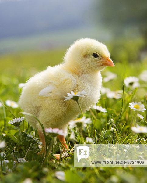 Österreich  Baby Huhn auf der Wiese  Nahaufnahme Österreich, Baby Huhn auf der Wiese, Nahaufnahme