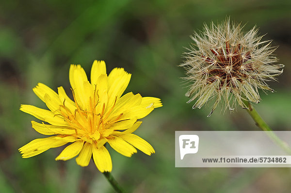 Mausohr-Habichtskraut oder Kleines Habichtskraut (Hieracium pilosella  Pilosella officinarum)  Blüte und Fruchtstand  Gelderland  Niederlande  Europa