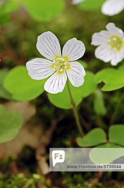 Waldsauerklee  Wald-Sauerklee (Oxalis acetosella)  Blüte  Nordrhein-Westfalen  Deutschland  Europa