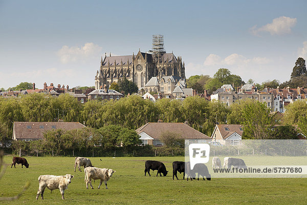 Cows grazing in a field in front of the cathedral Church of Our Lady and St Philip Howard  Arundel  West Sussex  England  United Kingdom  Europe