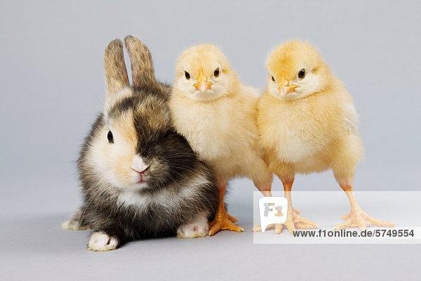 Kaninchen und Küken  Studioaufnahme Kaninchen und Küken, Studioaufnahme