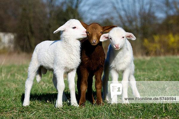 Drei Ziegenkinder auf Rasen Drei Ziegenkinder auf Rasen