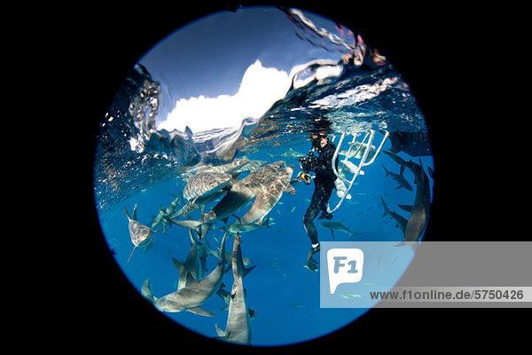 Frenzy of Caribbean Reef Sharks