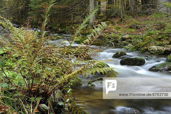 Kleine Ohe im Herbst  Bayerischer Wald  Deutschland