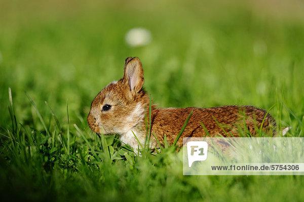 Junges Kaninchen im Gras Junges Kaninchen im Gras