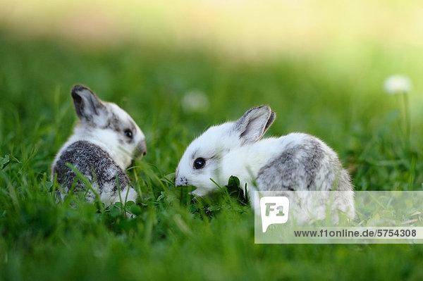 Zwei junge Kaninchen im Gras Zwei junge Kaninchen im Gras