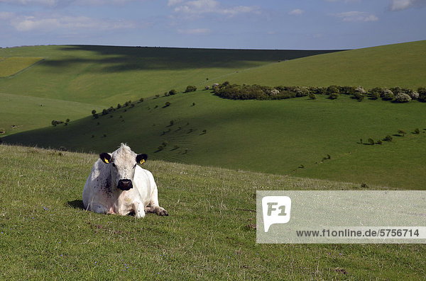 White cattle on a pasture  South Downs near Lewes  Sussex  England  United Kingdom  Europe