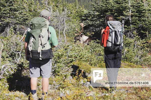 Backpacker gerade Woodland Caribou Bullen  Tonquin Tal  Jasper Nationalpark  Alberta
