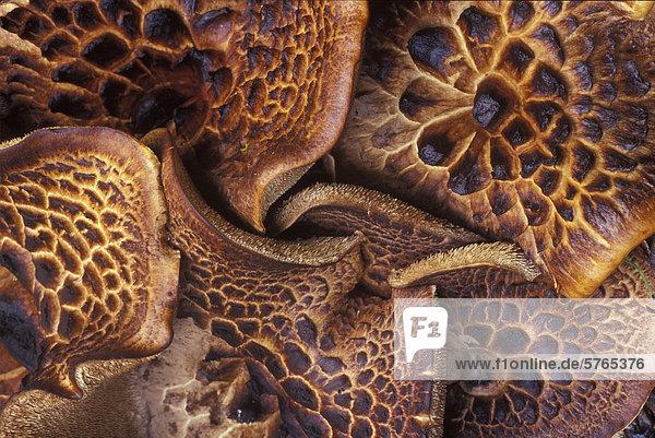 Muster  Geheimnis  Wachstum  Wald  Kiefer  Pinus sylvestris  Kiefern  Föhren  Pinie  Küsten-Kiefer  Pinus contorta  British Columbia  Igel  Schnittmuster