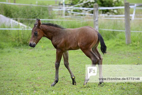 Paint Horse Fohlen  Traishof  Königsbach-Stein  Baden-Württemberg  Deutschland  Europa Paint Horse Fohlen, Traishof, Königsbach-Stein, Baden-Württemberg, Deutschland, Europa