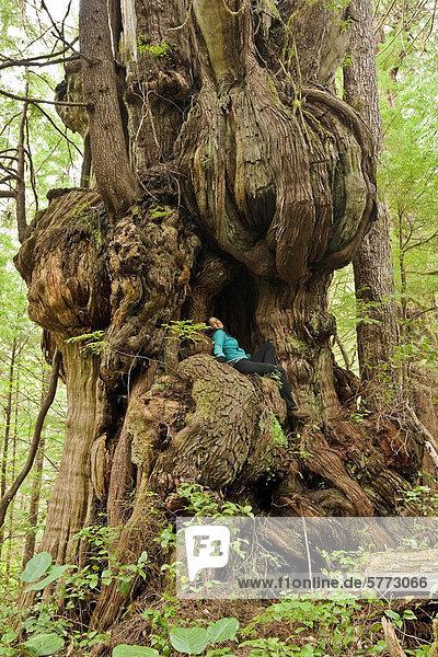 Einen Riesigen Alten Westliche Rotzeder Baum Lebensbaum Thuja