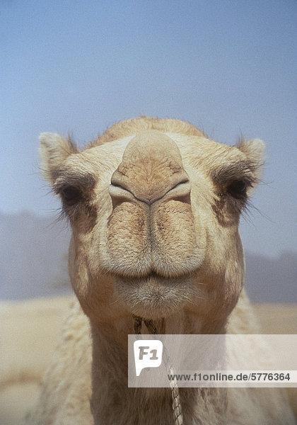 Kamelkopf von vorn Kamelkopf von vorn