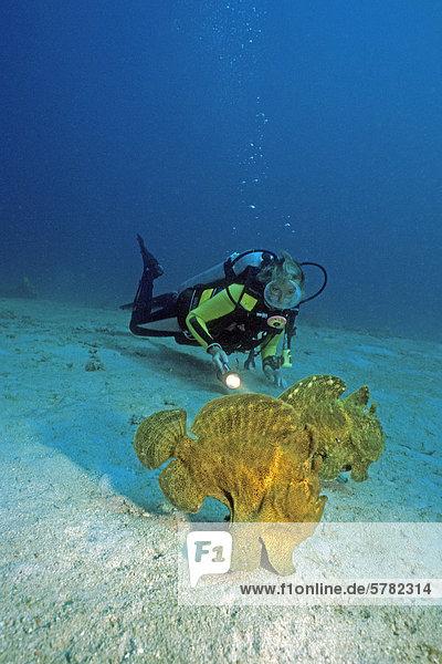 Taucher und Großer Anglerfisch oder Riesen-Anglerfisch (Antennarius commersoni)  Sabang  Puerto Galera  Mindoro  Philippinen  Asien