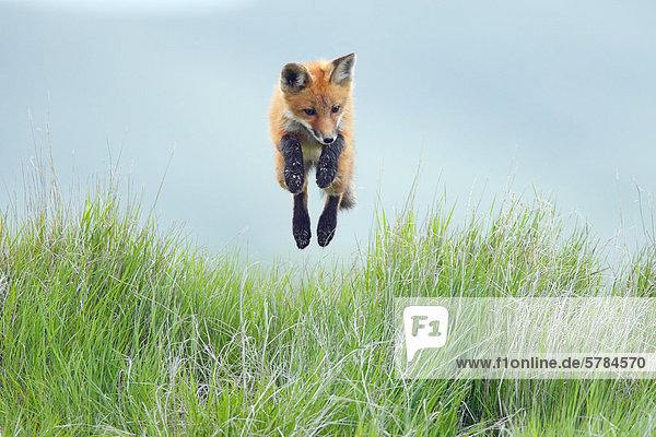 Rotfuchs (Vulpes Vulpes) Welpen einen Sprung durch die Luft Rotfuchs (Vulpes Vulpes) Welpen einen Sprung durch die Luft