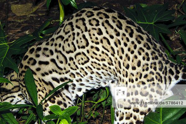 Ozelot (Leopardus Pardalis)  tropischen Regenwald  Belize  Mittelamerika
