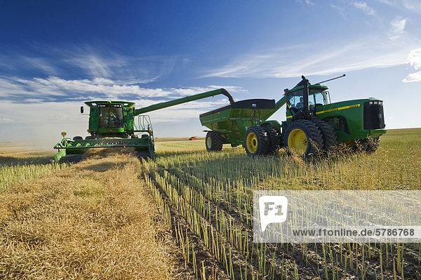 ein Mähdrescher mündet in ein Korn-Wagen unterwegs während der Ernte von Raps  nahe Hodgeville  Saskatchewan  Kanada
