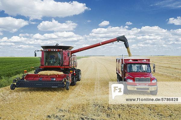 ein Mähdrescher Schnecken Gerste in einem Bauernhof LKW während der Ernte  in der Nähe von Dugald  Manitoba  Kanada