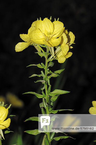 Gemeine Nachtkerze oder Gewöhnliche Nachtkerze (Oenothera biennis)  blühend  Nordrhein-Westfalen  Deutschland  Europa