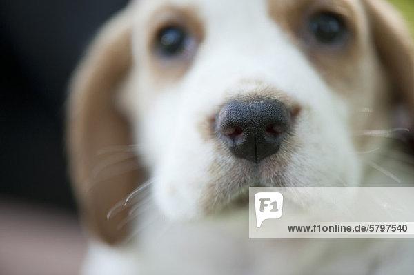 Beagle-Welpe  Schwerpunkt Nase