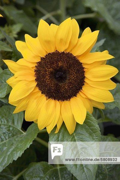 Sonnenblume  München  Bayern  Deutschland