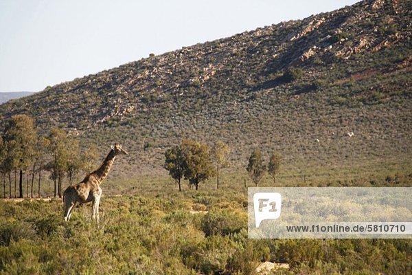 Giraffe südlich von Kapstadt  Western Cape  Südafrika