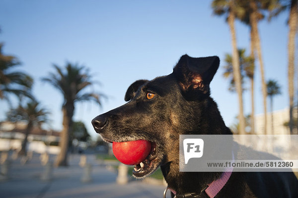 Hund, Close-up, Ball Spielzeug, Hund, Close-up, Ball Spielzeug