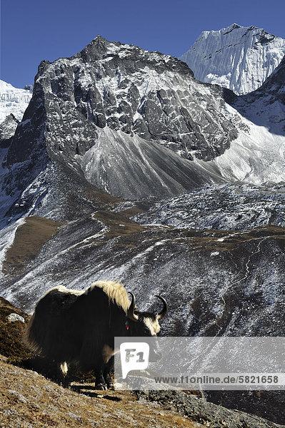 Yak vor Amphu Gyabien Berg in Nepal